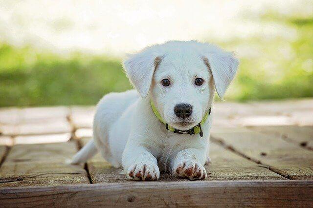 Hond puppy